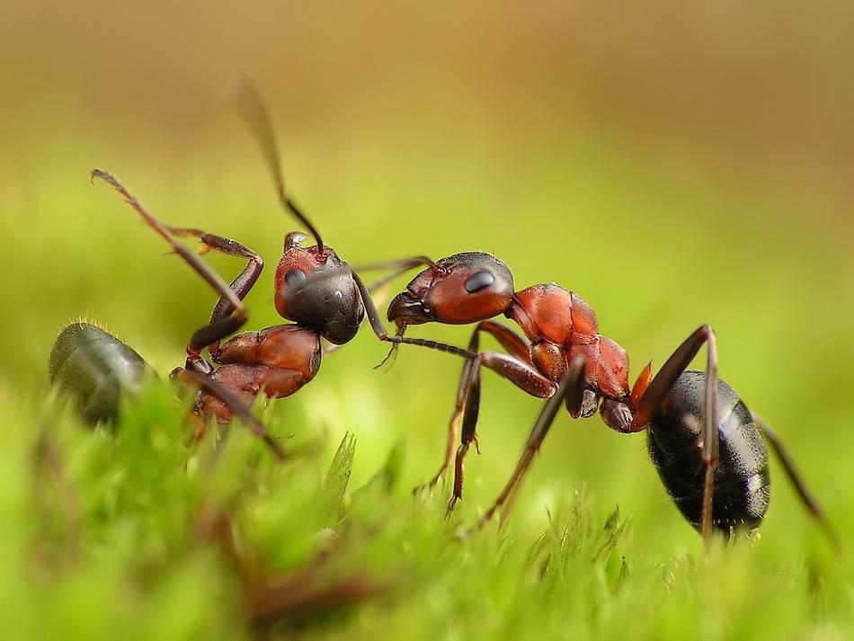 Враги муравьев, кто их ест и истребляет в природе