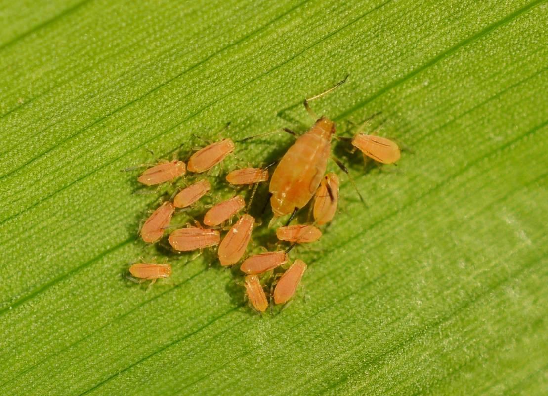 Песчаный медляк: опасный вредитель на посевах овощей и злаков