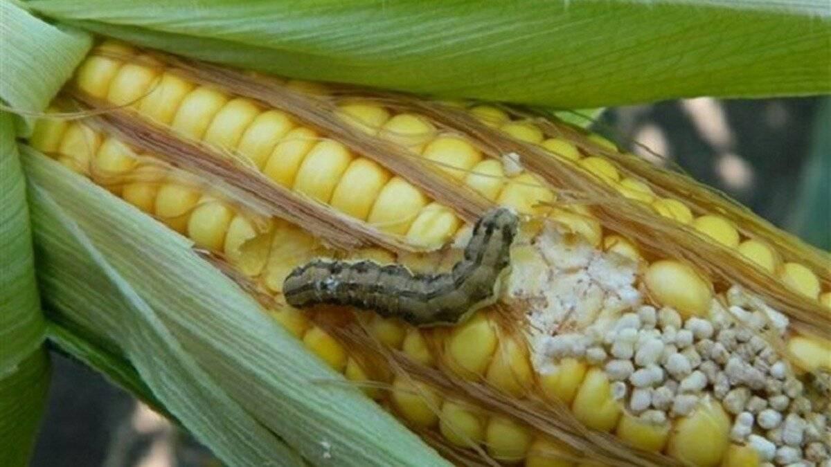 Болезни и вредители кукурузы: фото, описание, меры борьбы с ними и профилактические мероприятия