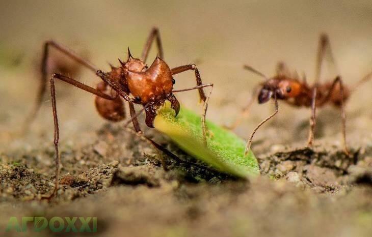 Муравьи. устройство муравейника, враги, защита, образ жизни