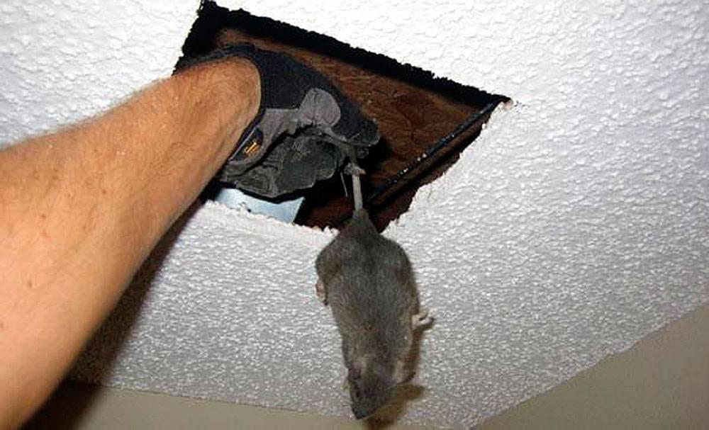 Как избавиться от мышей под натяжным потолком?