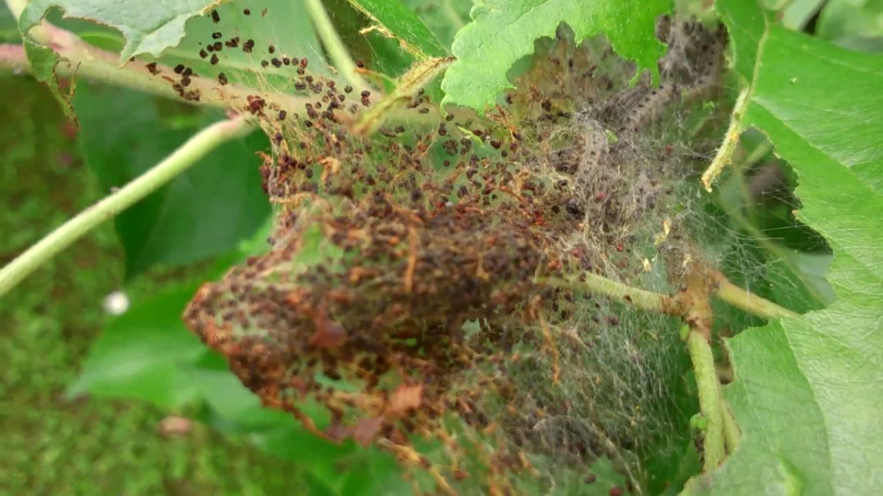 Как и чем обработать сосну от гусениц
