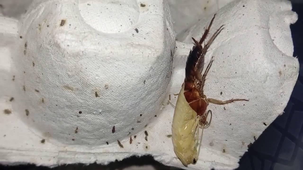 Туркменский таракан чем кормить и как содержать