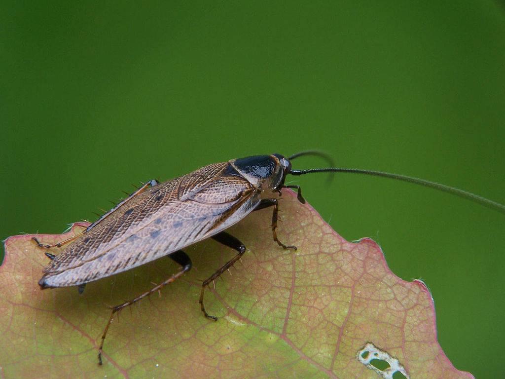 Летают ли домашние тараканы, прусаки | какие виды умеют летать
