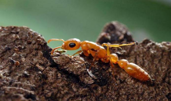 Фараоновы муравьи в квартире: как избавиться, методы борьбы - травы и средства