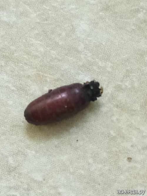 Рассада помидор и её опасные вредители