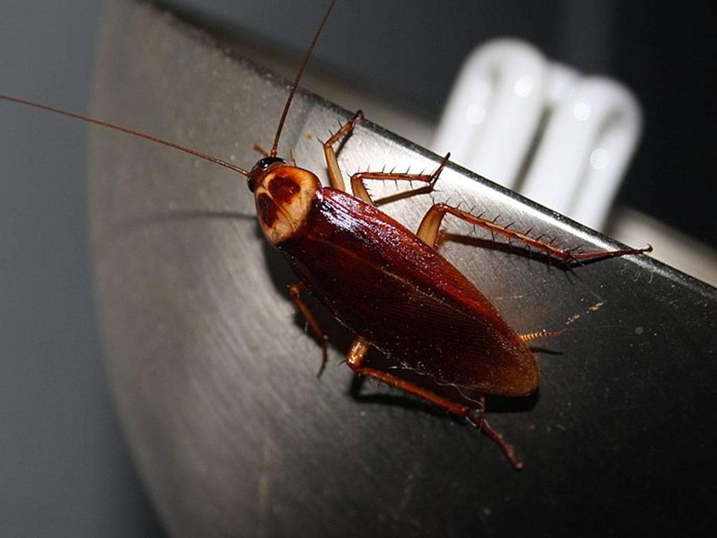 Летают ли тараканы, описание, среда обитания, видео, фото