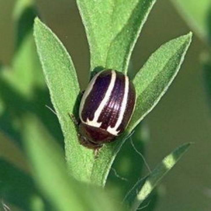 Рапсовый листоед: фото, внешний вид и способы борьбы с вредителем капустных культур