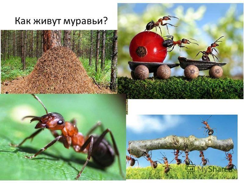 Садовые муравьи: чем полезны и возможный вред   польза и вред