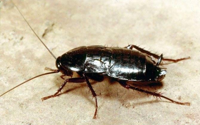 """❶ почему тараканов называют """"стасиками"""": история названия, почему их так зовут в народе, откуда появилось прозвище"""