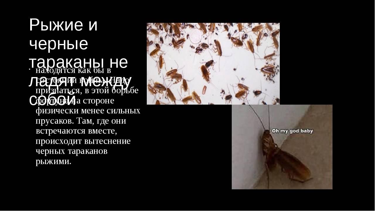Рыжие тараканы в квартире (прусаки): откуда берутся, фото, какие заболевания переносят, как от них избавиться