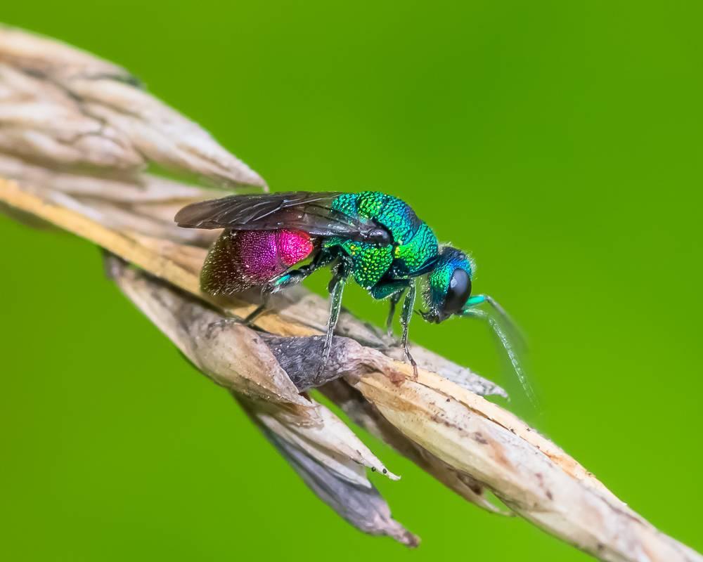 Лесные осы – фото и описание