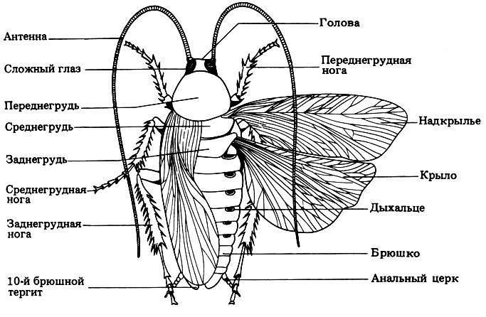 Строение таракана: внутреннее и внешнее и его особенности