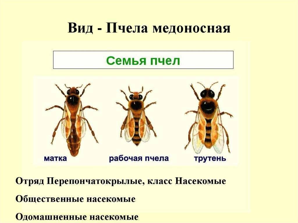 Медоносная пчела: особенности строения, развития и классификация