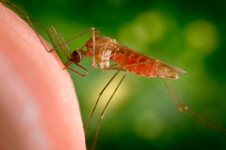 Малярийные комары