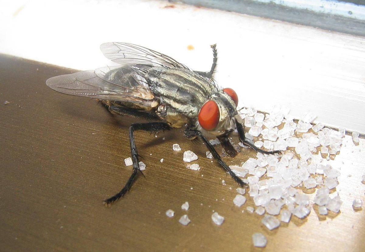 Личинки мух: где мухи откладывают яйца, как они выглядят и как называются