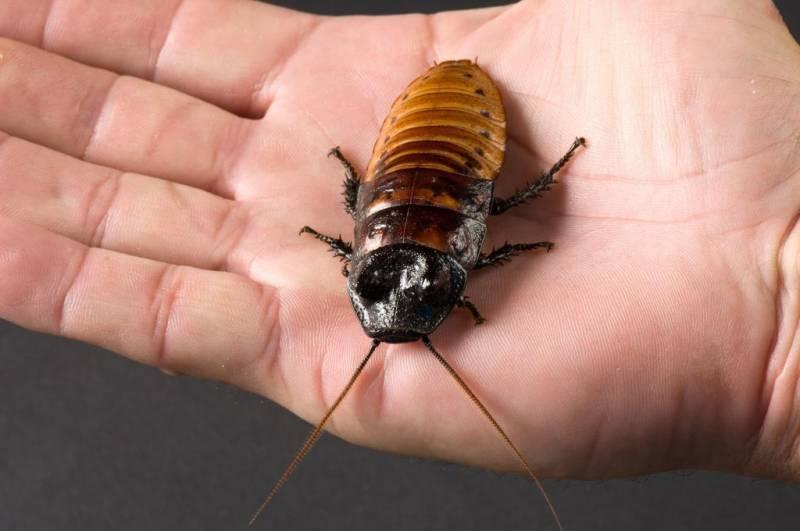 Самые большие тараканы в мире: размножение, содержание