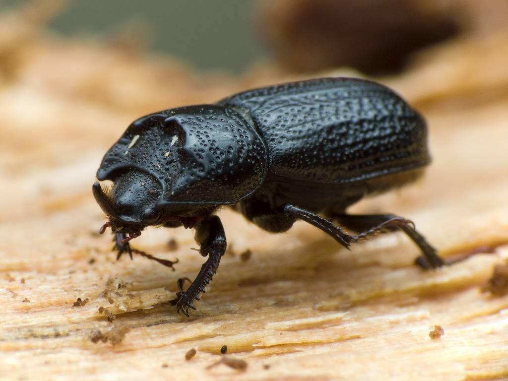 Описание и фото навозного жука