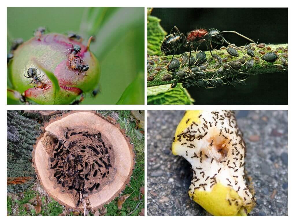 Муравьи на садовом участке вред и польза