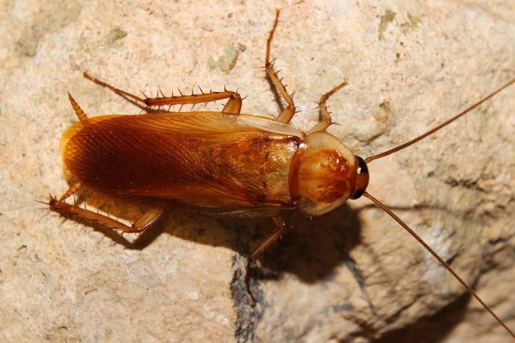 Как выглядит таракан прусак?