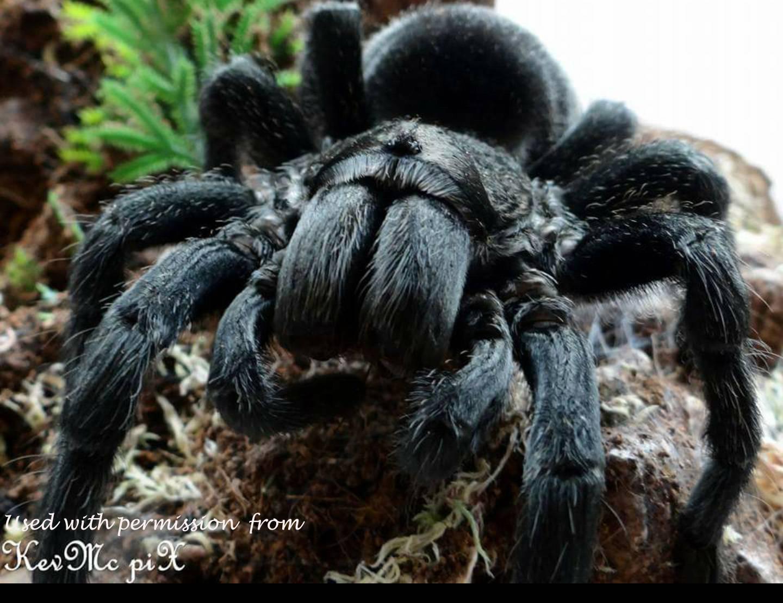 Домашние пауки птицееды - это вам не котята