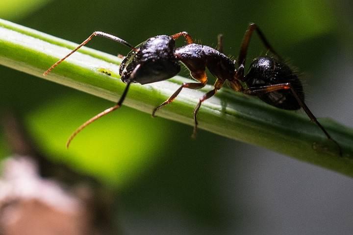 Летучие муравьи как избавиться в доме и на огороде