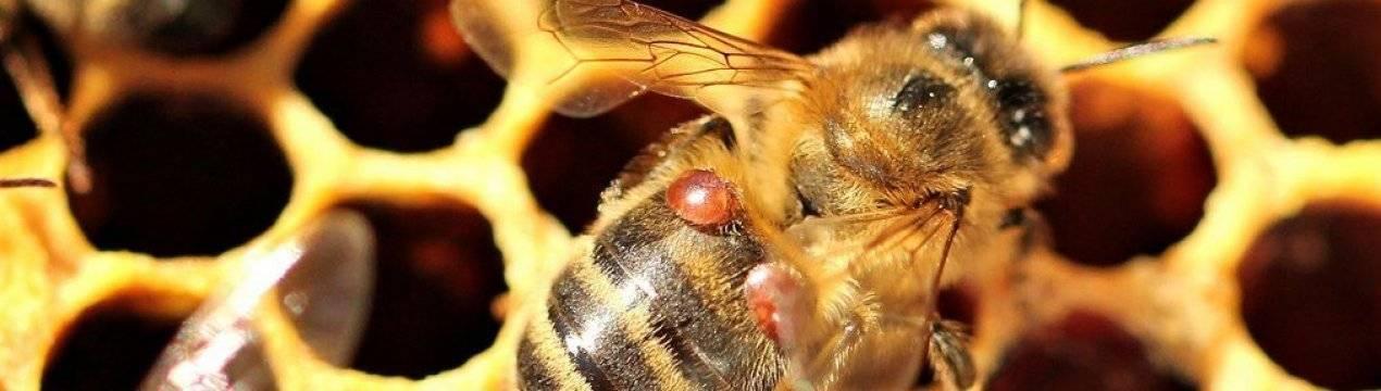 Инвазионные болезни медоносных пчел — agroxxi