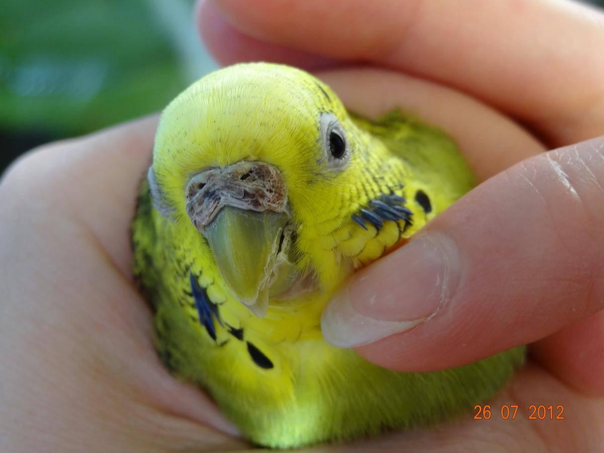 Клещи у попугая: виды, симптомы, признаки, лечение