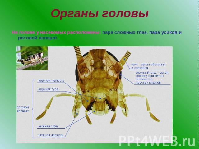 Комнатная муха (musca domestica): строение пищеварительной и репродуктивной системы насекомого