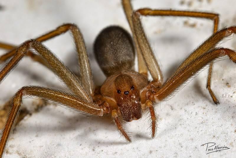 Укус паука-отшельника