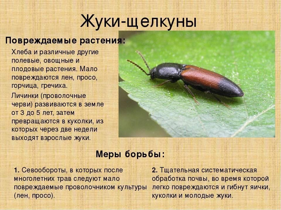 Жук-щелкун или проволочник – как выглядит главный вредитель огородных культур
