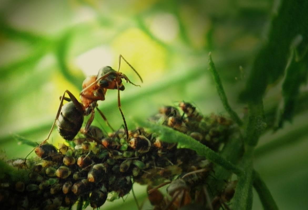 Тля и муравьи: симбиоз тля и муравьи: симбиоз