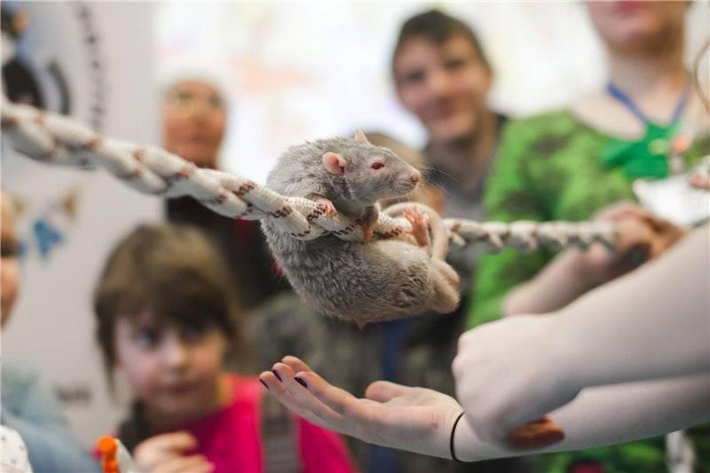 Крысиный хвост: особенности и предназначение - люблю хомяков