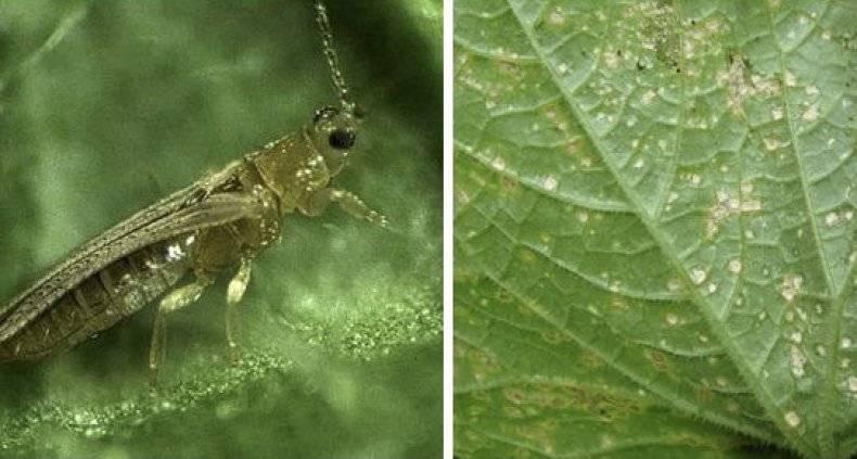 Трипсы на растениях. как эффективно бороться с трипсами