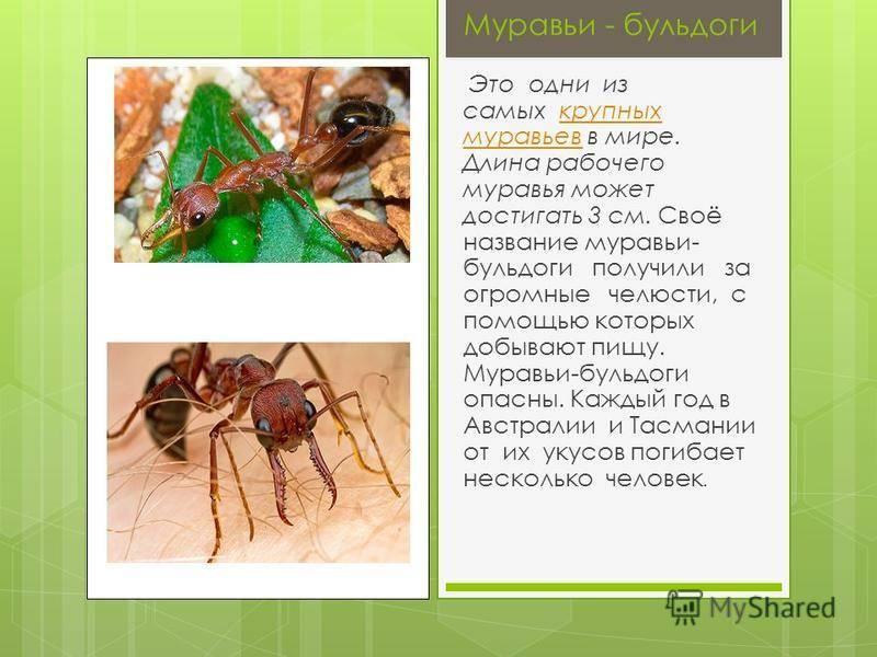 Красный муравей-бульдог — википедия