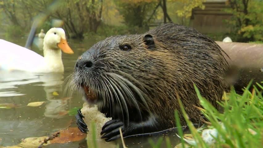 Водяная полевка (крыса): фото, описание, активность, питание