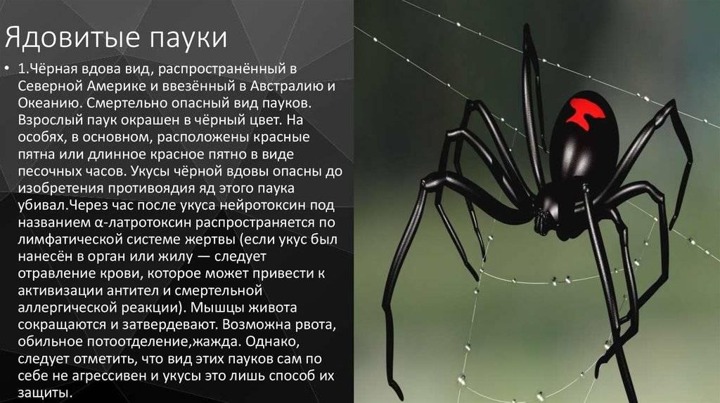 Самые ядовитые пауки в россии