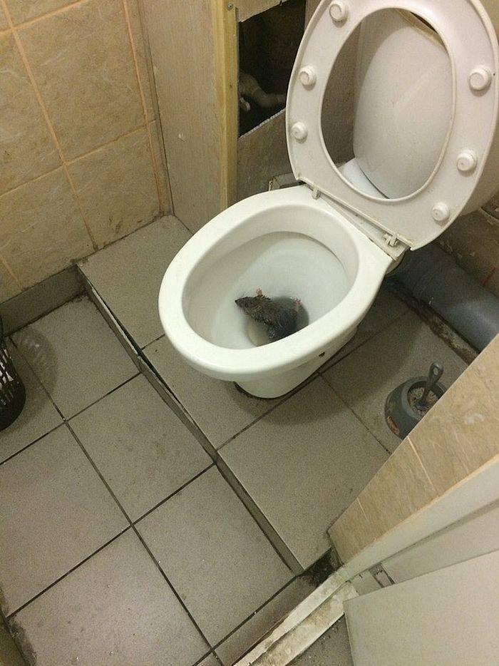 [новое исследование] как приучить крысу к туалету в одном месте (лотку) и отучить писать где попало?
