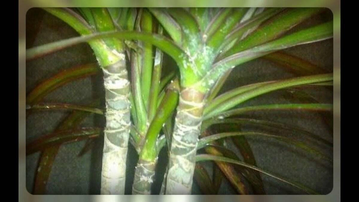 Как бороться с мучнистым червецом на комнатных растениях: лучшие методы избавления