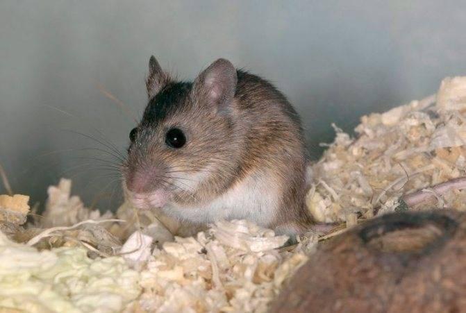 Виды крыс с фото и названиями, описание особенностей