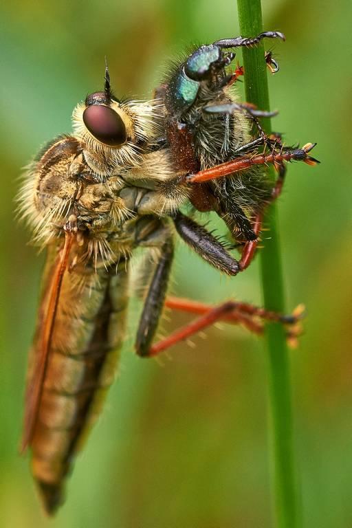 Безжалостный истребитель насекомых – ядовитая муха ктырь