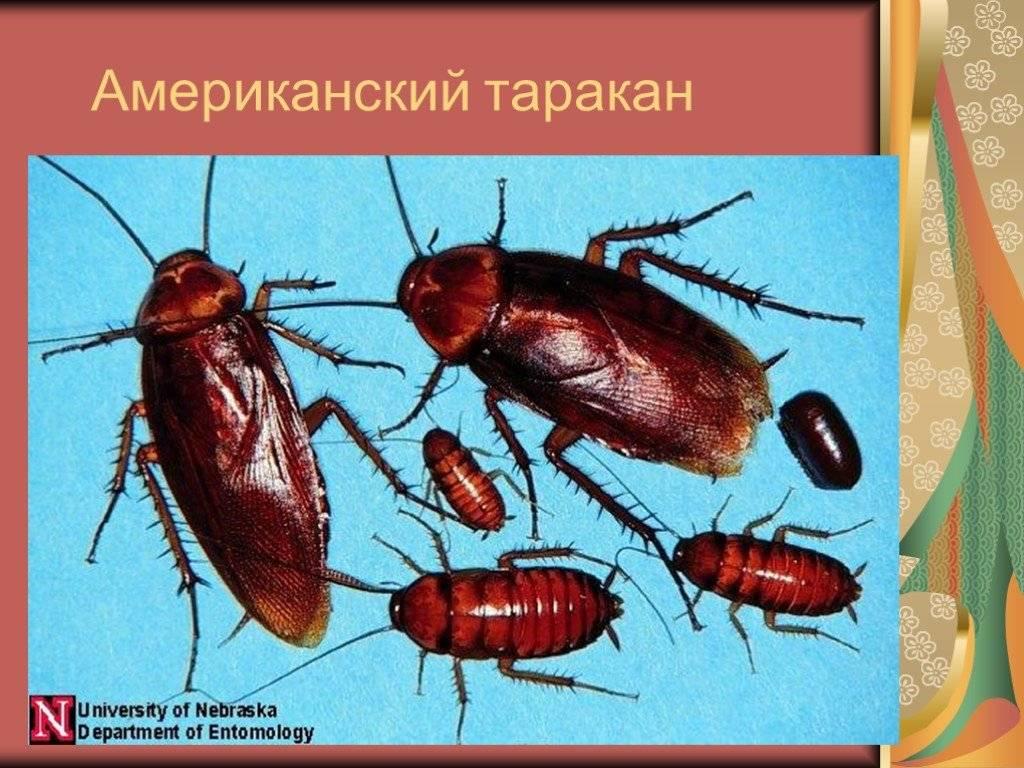 Как называется оболочка,в которую запакованы яйца тараканов, биология