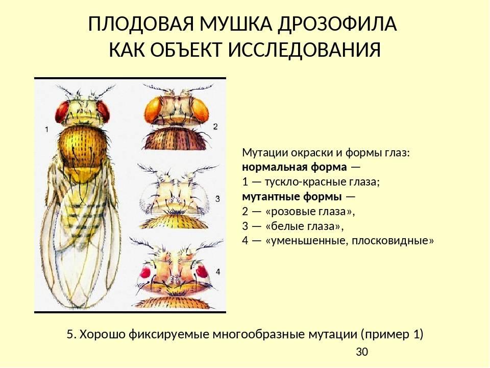 Мухи дрозофилы