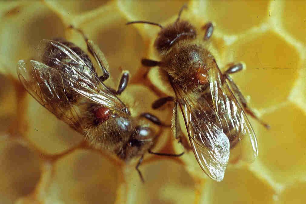 Как предупредить заражение пчел клещом варроа?