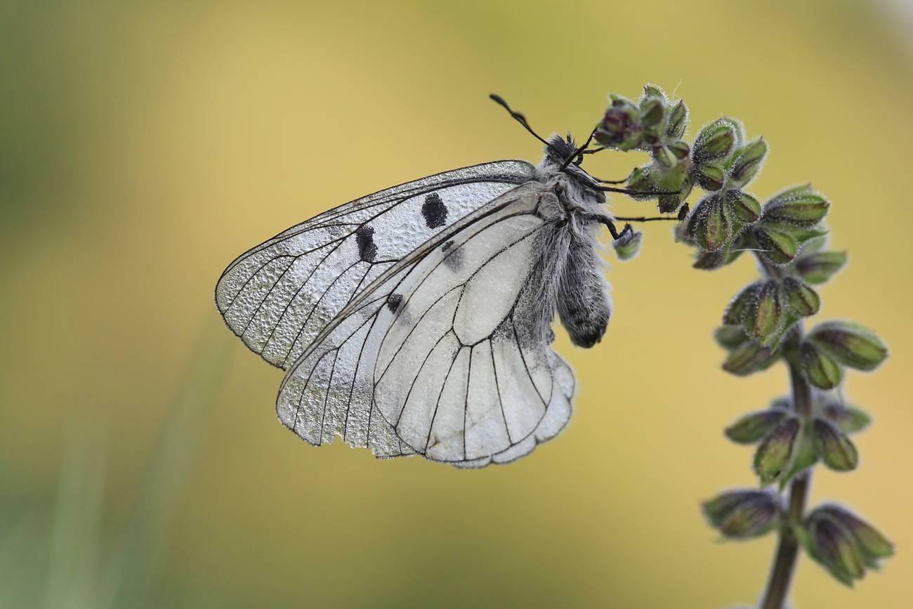 Бабочка мнемозина — описание, среда обитания, виды