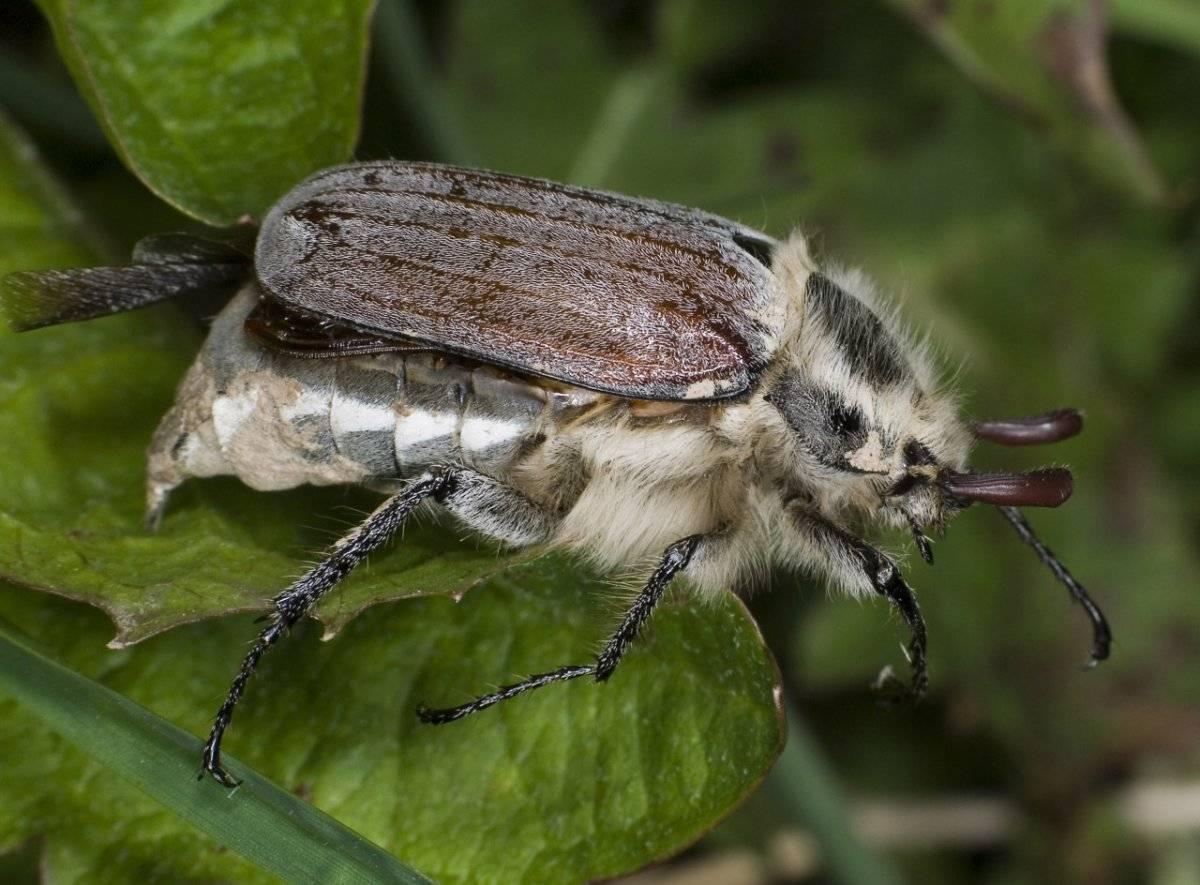 Майский жук (хрущ) - фото, виды, описание, характеристика