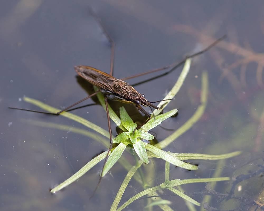 Водяной клоп: хищник, скрывающийся в водоемах. удивительные и опасные водяные клопы