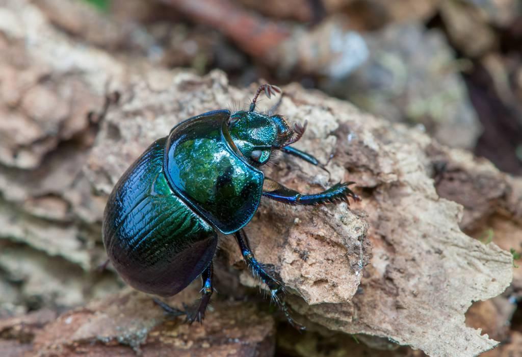 Жук - неядовитые насекомые | описание, фото и видео