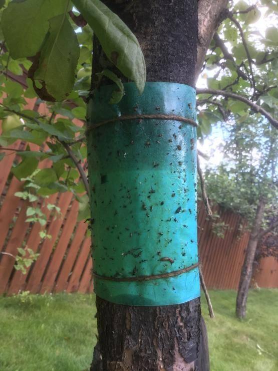 Ловчий пояс для плодовых деревьев от садовых вредителей: описание, виды поясов, изготовление своими руками (фото & видео) +отзывы