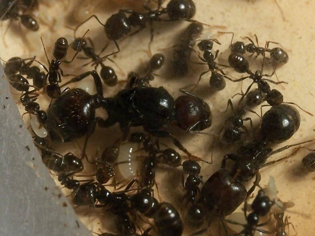 Муравьиная матка — википедия. что такое муравьиная матка